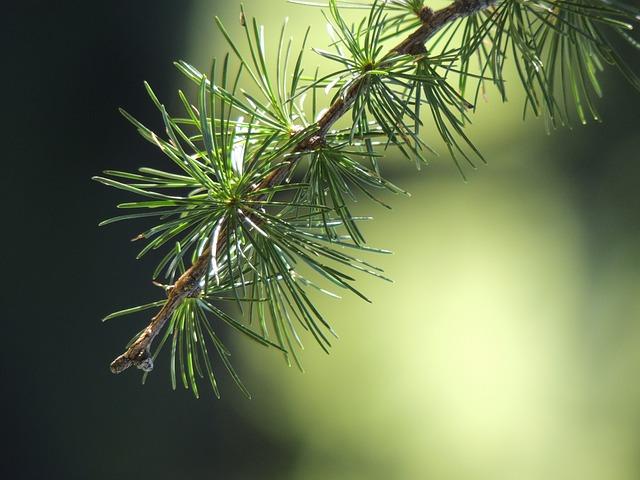 větev jehličnanu