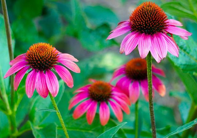 Ružové rozkvitnuté kvety echinacei
